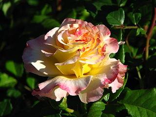 Rosa 'Aquarelle' 02.JPG