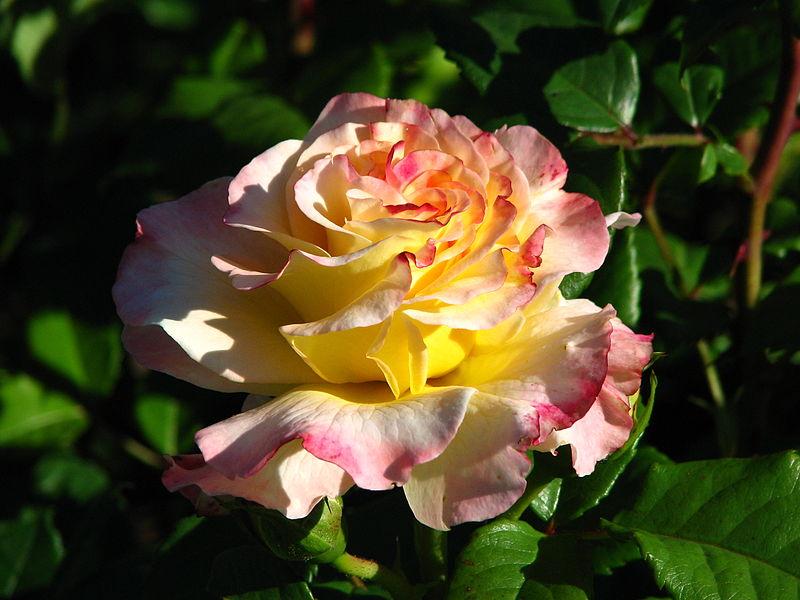 800px-Rosa_%27Aquarelle%27_02.JPG