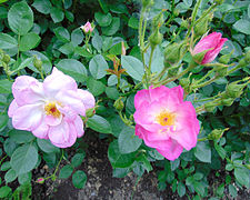 Rosa 'Escapade' 1.jpg