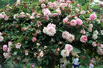 Rosa Féerie - Giverny02.jpg