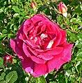 Rosa Flaming Peace 1.jpg