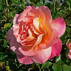 Rosa Girona 2.jpg