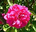 Rosa Malton 1.jpg
