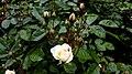 Rosa chinensis in Yerevan 03.jpg