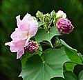 Rosa de engaño - Amistad del día (Hibiscus mutabilis) - Flickr - Alejandro Bayer (1).jpg