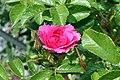 Rosa rugosa F. J. Grootendorst 3zz.jpg