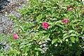 Rosa rugosa F. J. Grootendorst 7zz.jpg