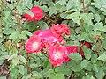 Rosa sp.102.jpg