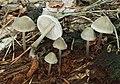 Rosablättrige Helmling Mycena galericulata.jpg