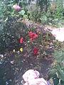 Rosales - Rosa cultivars and Viola x wittrockiana - 2011.07.11.jpg