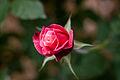 "Rose, ""Princess Chichibu"" - Flickr - nekonomania.jpg"