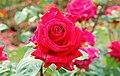 Rose, Botanic Gardens, Belfast - geograph.org.uk - 1389411.jpg