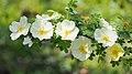 Rose, Rosa pimpinellifolia, バラ, ロサ・ピンピネリフォリア, (13965540100).jpg
