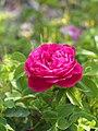 Rose, Triomphe de l'Exposition, バラ, トリヨンフ ドゥ エクスポジシオン, (9508800770).jpg