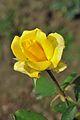 Rose - Kolkata 2012-01-03 7748.JPG