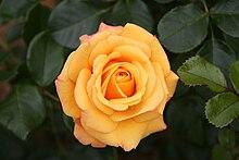 The Hybrid Garden Rose Amber Flush