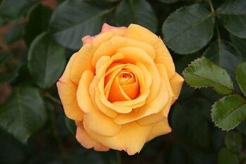 English: Amber Flush rose - Bagatelle Rose Gar...