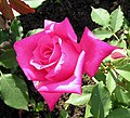 Rose Peter Frankenfeld.jpg