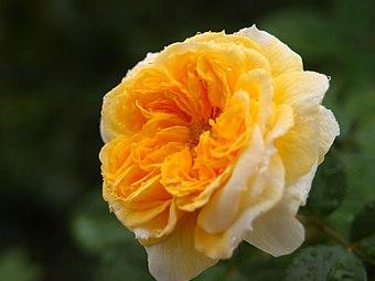 Rose Yellow Button バラ イエロー ボタン (6347550424).jpg
