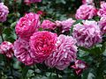 Rose Yves Piaget バラ イブ ピアッチェ (4656672982).jpg
