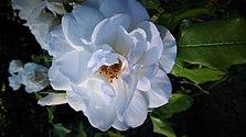 Rose fée des neiges iceberg.jpg
