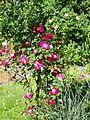 Rose im Botanischen Garten Erlangen (5).JPG