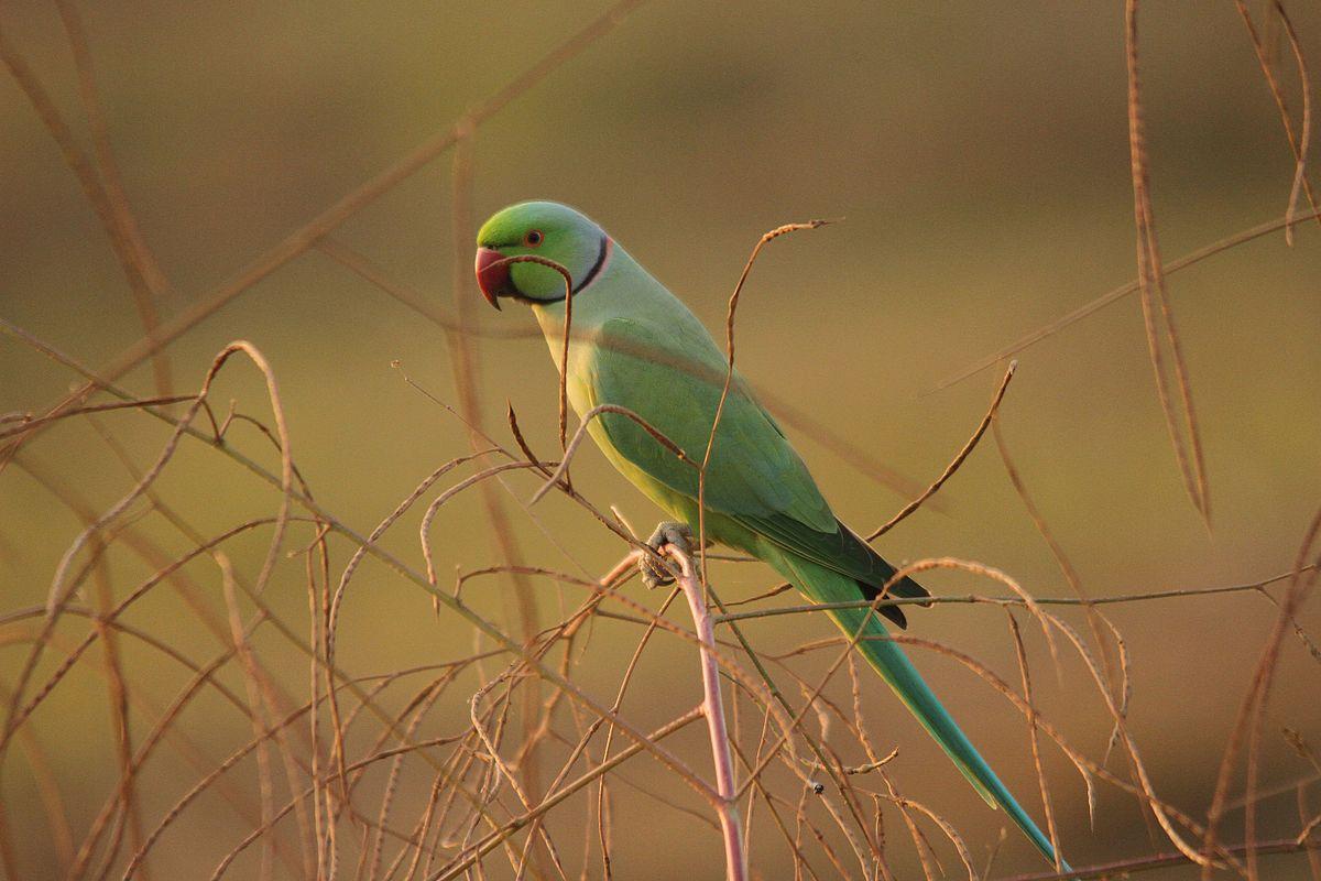 marathi parrot English: standard marathi names of birds found in maharashtra महाराष्ट्र पक्षीमित्र संघटनेद्वारा प्रमाणित पक्ष्यांची मराठी भाषेतील नावे.