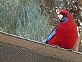 Rosella parrot (5290084767).jpg