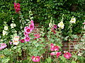 Roses trémiaires.JPG