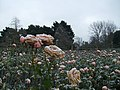 Roses with Frost in Regent's Park, London.jpg