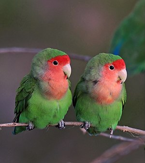 Rosy-faced lovebirds (Agapornis roseicollis roseicollis) composite 1 of 3.jpg