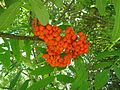 Rowan-berries-173540.jpg