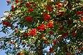Rowan berries 001.jpg