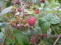 Rubus-idaeus058.jpg