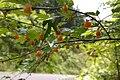 Rubus palmatus var. coptophyllus01.jpg