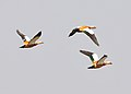 Ruddy Shelduck in flight.jpg