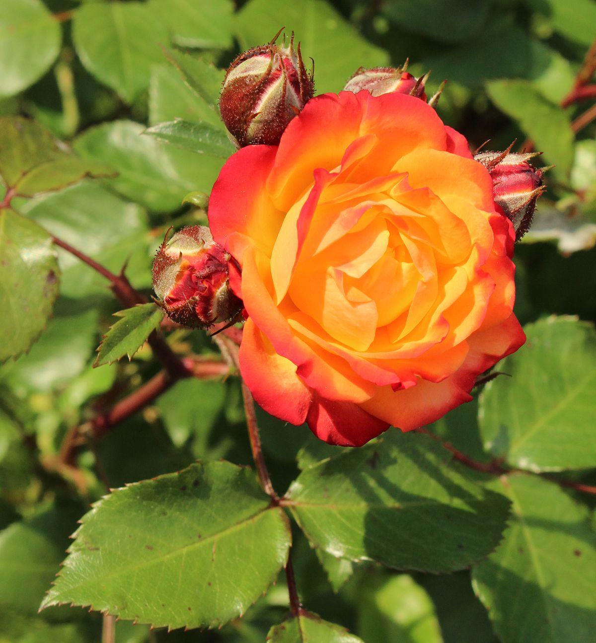 Rosa 'Rumba' - Wikimedia Commons