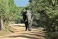 SRI LANKAN ELEPHANT.jpg