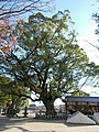 Sacred tree of Daizenji Tamatare-gu.jpg