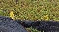 Saffron Finch, Place of Refuge, Honaunau, Big Island, Hawaii (33566419011).jpg
