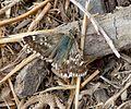 Sage skipper. Muschampia proto. Male - Flickr - gailhampshire.jpg