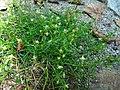 Sagina procumbens plant (28).jpg