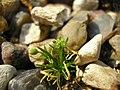 Sagina procumbens plant (36).jpg