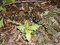 Salamandra salamandra Matra 02.JPG