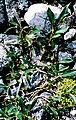 Salix planifolia 2001-07-15.jpg