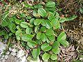 Salix reticulata a1.jpg