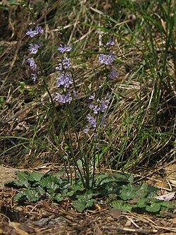 Salvia isensis 02.jpg