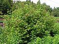 Sambucus racemosa20090612 221.jpg