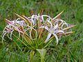 Sand Lily (Crinum buphanoides) (12614699003).jpg