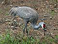 Sandhill Crane (Grus canadensis) RWD.jpg